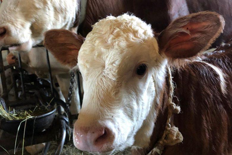 Vache et veau exploitation Philippe Bonnet